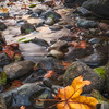 Autumn Leaves on the Sacramento River