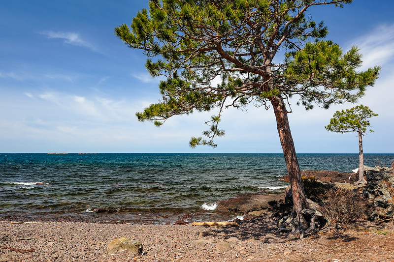 Rugged red pine on the Keweenaw Peninsula