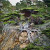 Old Cypress Tree