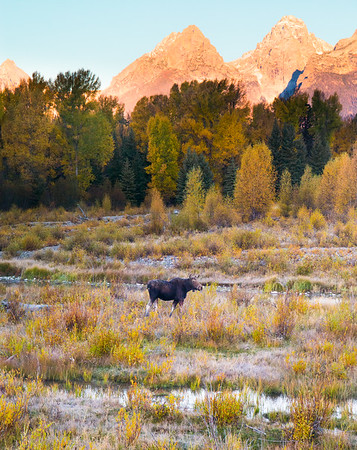 Moose Morning at Schwabacher's Landing