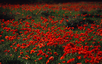 Moroccan poppy fields
