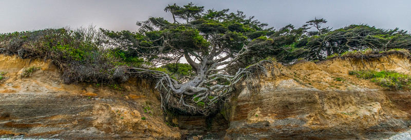 Tree of Life, Kalaloch Campground Beach, WA