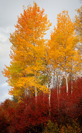 Golden Aspens & Hawthorn Berry, Grand Tetons