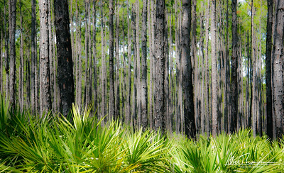 Trees and Ferns - FL
