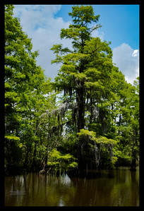 Ten Mile Bayou - Large Cypress Tree - Big Thicket National Preserve - Orange County, Texas