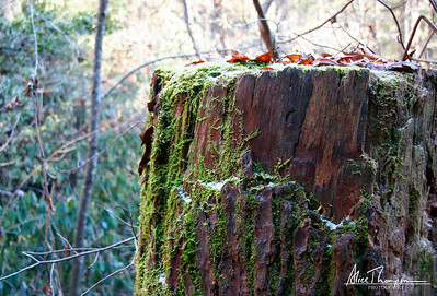 Tree Stump and Moss