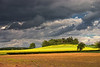Oil-seed Rape field in Leicestershire