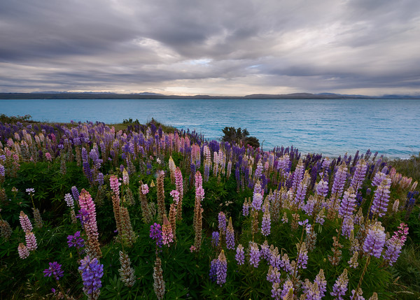 lupines and the lake