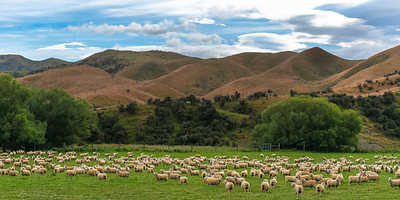 Sheep Farming in New Zealand