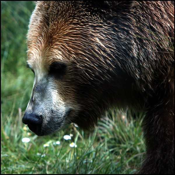 """""""Grizzly"""""""