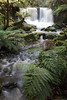Waterfall and Ferns<br /> <br /> The dense, green rainforest surrounding Horseshoe Falls at Mt. Field National Park in Tasmania includes several species of giant fern.
