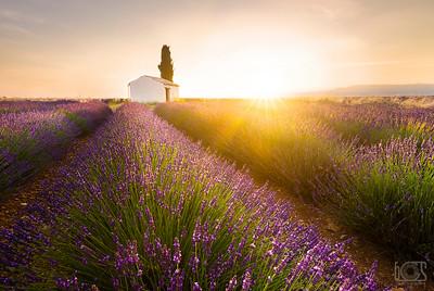 Sunrise over lavenders
