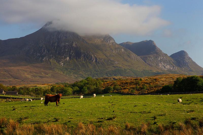 A Highland COO with Ben Loyal Mountain. Scotland. John Chapman.