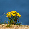 Wild Flowers. John Chapman.