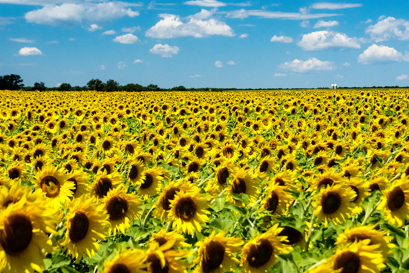 Acres of Sunflowers!