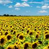 Acres of Sunflowers!