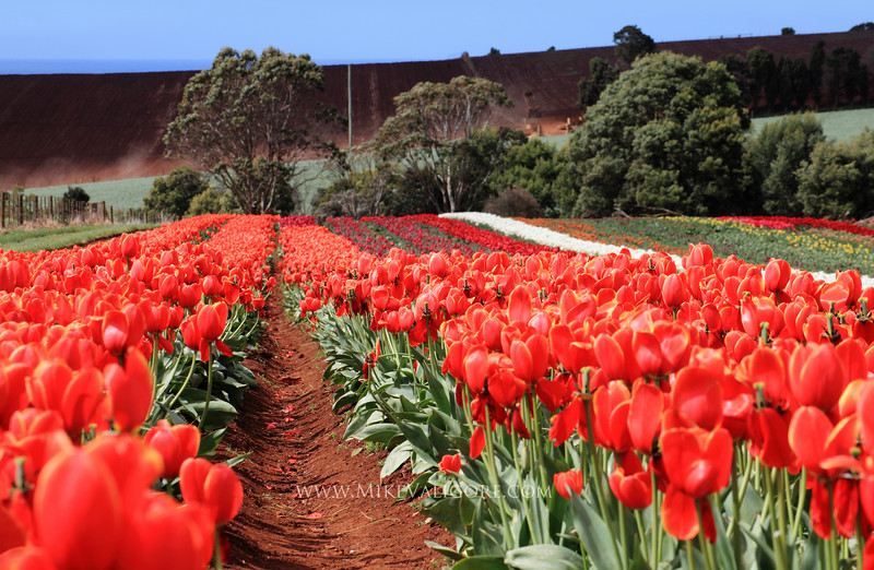 Table Cape Tulips<br /> <br /> Wynyard, Tasmania, is famous for its tulip farms.  In springtime, rows of tulips explode in a rainbow of bright colors.