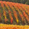 Gold Country  Autumn Vineyard 1