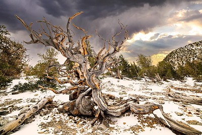 Aging with Grace | Bristlecone Pine, Great Basin National Park