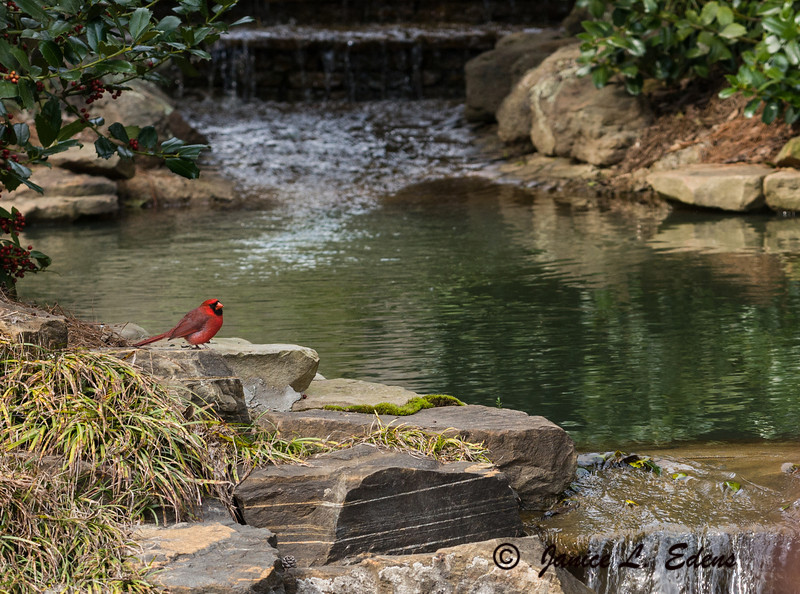 """Cardinal at the Water"""