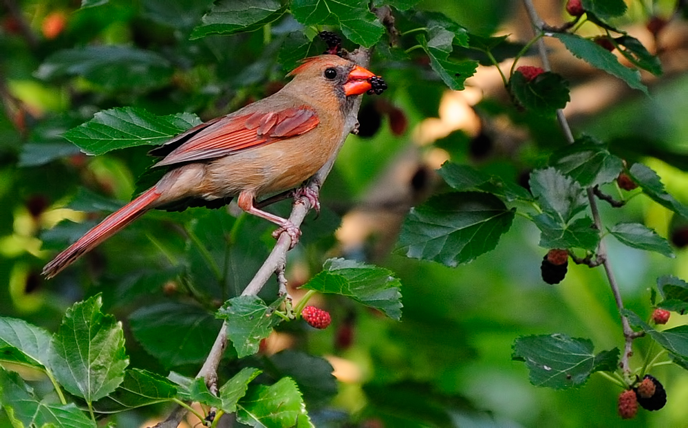 Every spring the cedar waxwings come to rid our backyard of mulberries. We wait patiently.