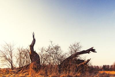 Old broken willow tree