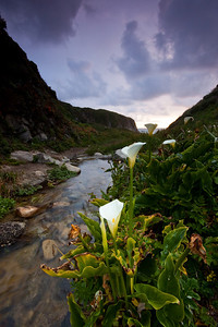 Calla Lilies, Pacific Coast, CA  This is similar to shot #1, except that it is at a slightly different focal length, showing more of the foreground.