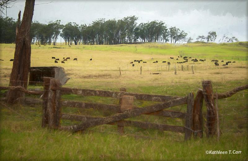 Fence and Cows, Waimea