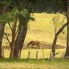 Horse, Waimea