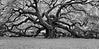 """""""Angel Oak"""""""