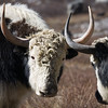 Two dzo in a stand-off at the summer grazing area of Langshisa Kharka. A dzo is a mix between a yak and a cow. / Langtang Himal, Nepal