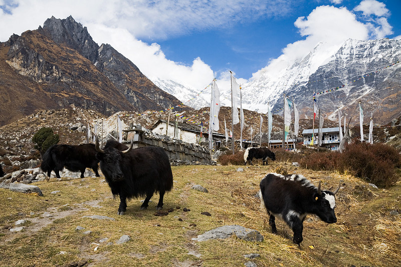 Dzo grazing in front of the Buddhist monastery of Kyanjin Gompa. Dzo are a mix between cows and yaks. / Langtang Himal, Nepal