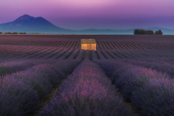 Lavender Dream #3