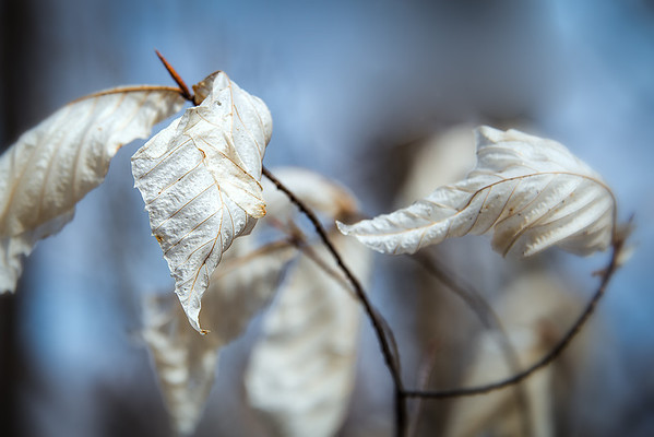 White Leaves
