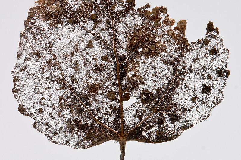 Decomposing Leaf  1