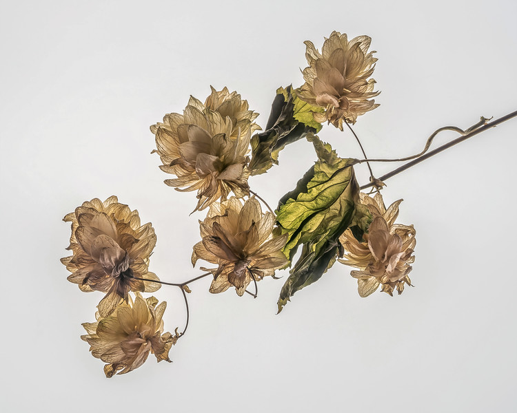 Dried Leaves and Flowers From a Wild Vine