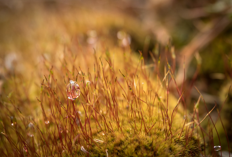 Dewdrops On Moss