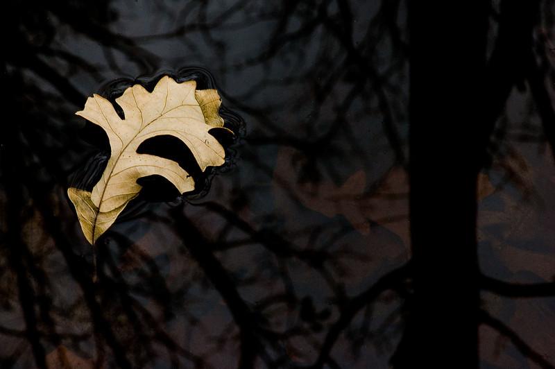 Floating Oak Leaf