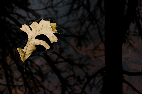 Floating Oak Leaf