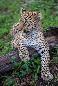 Bahati the Leopard