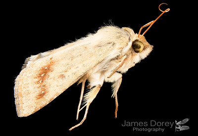 Outback lepidopteran