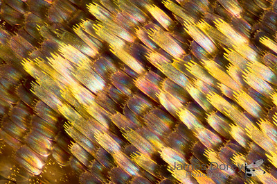 Timber moth (Xyloryctidae sp) wing scales