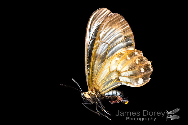 Clearwing swallowtail (female)