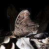 Evening Brown Butterfly (Melanitis leda)