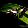 Pale Triangle butterfly (Graphium eurypylus)