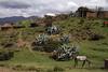 Sotho Ponies - Agave plants - tree limb kralls - and rock dwellings along the Lekhalong-la-Nkesi Pass - Lesotho.
