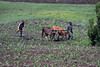 Basotho farmers plowing the field with a team of draft cattle and tree-limb yoke - Maseru (district) - Lesotho.