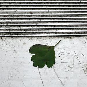 Hawthorn Leaf on Metal Bleachers, Portland, 2020
