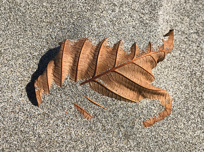 Leaf in Sand, Gearhart, 2020