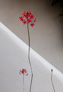 Star Orchid, Mexico, 2011